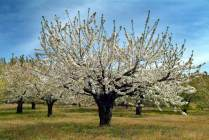 El Valle del Jerte y sus imponentes cerezos en flor